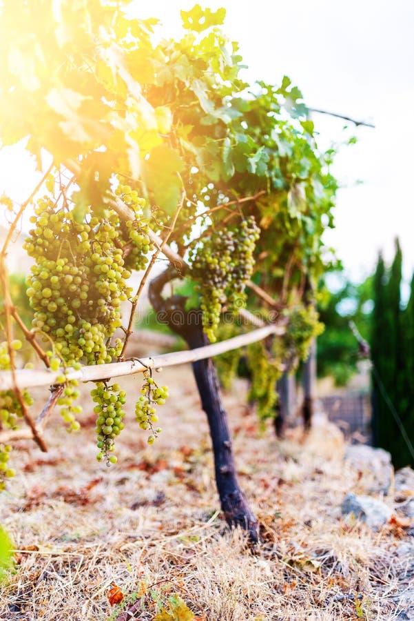 Связка винограда вися на лозе в золотом солнечном свете стоковое изображение rf
