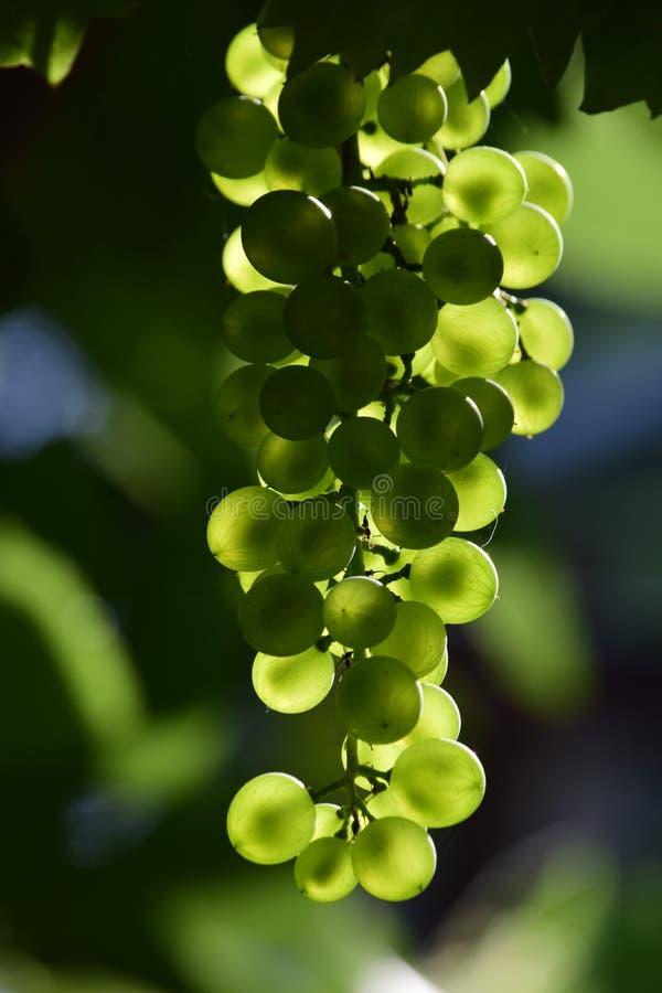 Связка винограда в солнечном свете стоковая фотография rf