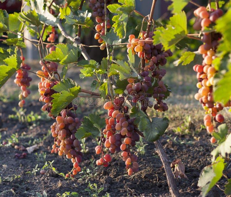 Связка винограда на лозе в солнечности виноградины winegrowers на фото красного вина лозы стоковая фотография