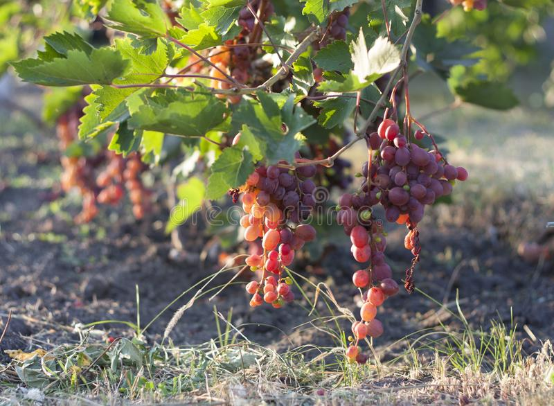 Связка винограда на лозе в солнечности виноградины winegrowers на фото красного вина лозы стоковые фото