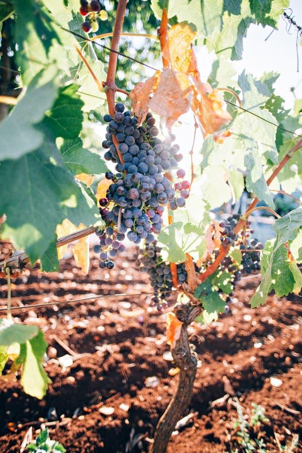 Связка винограда riping на ветвях стоковое изображение rf