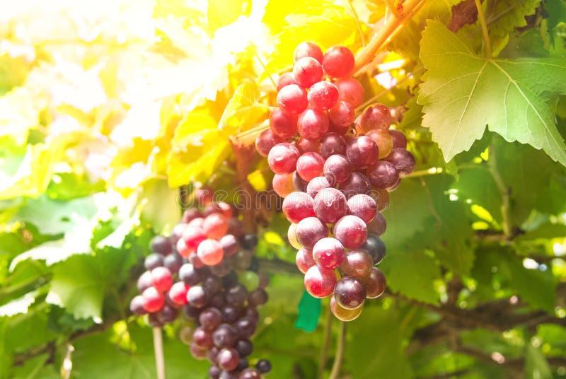 Связка винограда на лозе с зелеными листьями стоковое фото