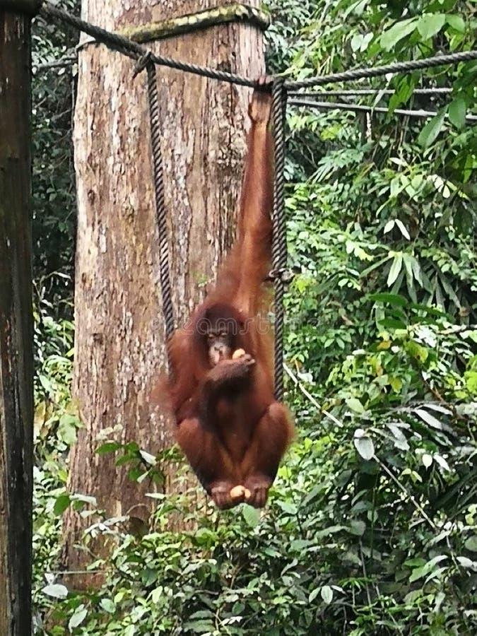 Святилище орангутана Амазонки Борнео Малайзии Sandakan Sepilok Азии стоковое изображение rf