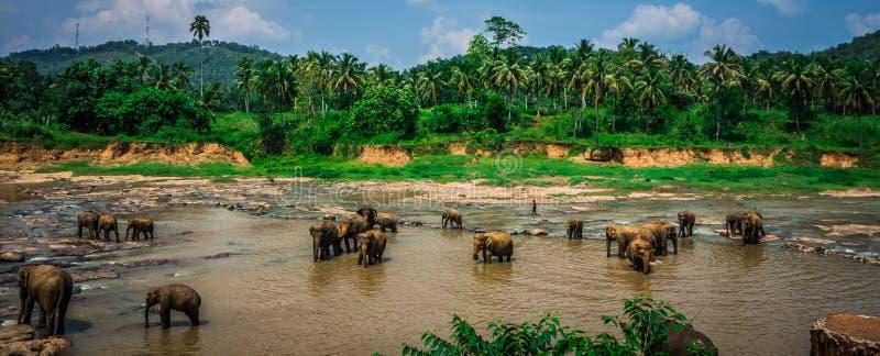Святилище слона в Шри-Ланке стоковые изображения rf