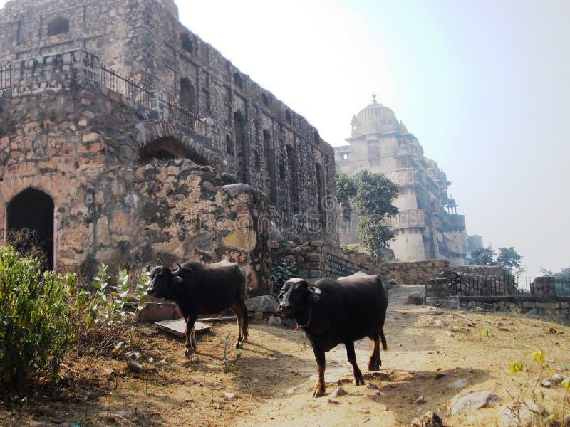 Святые коровы в Индии/Orchha стоковые изображения