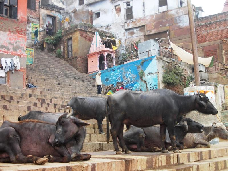 Святые коровы в Священном городе Варанаси в Индии стоковая фотография rf