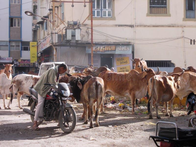 Святые коровы и отход в Junagadh/Индии стоковые изображения