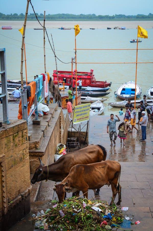 Святые коровы на речном береге Ганга стоковое фото