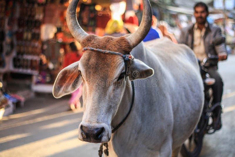 Священная корова в улице Pushkar, Раджастхана, Индии стоковая фотография rf