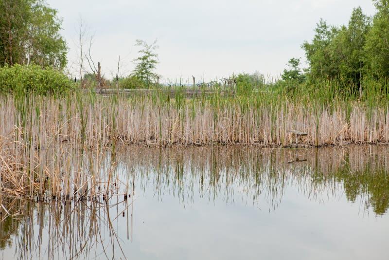 Сгорели заводы на береге небольшого озера Сухие тростники на пруде Тростники после огня стоковое фото