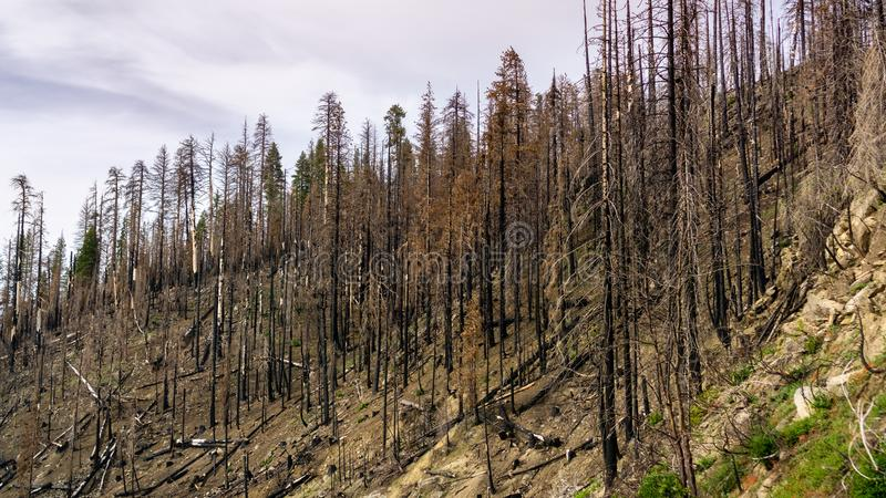 Сгорели лес в результат лесного пожара 2018 Ferguson в национальном парке Yosemite, горах сьерра-невады, Калифорния; это стоковая фотография rf
