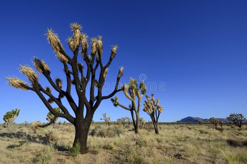 Download Сгорели дерево Иешуа стоковое изображение. изображение насчитывающей aridness - 41652047