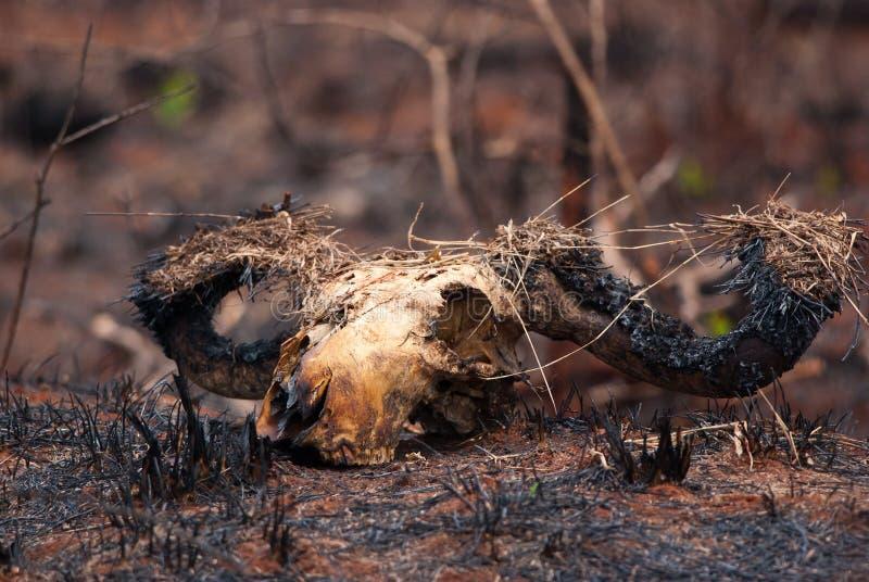Сгорели череп стоковое изображение rf