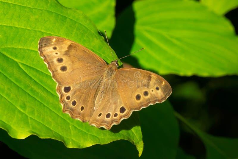 Северная бабочка Жемчужный-глаза - anthedon Enodia стоковые изображения rf