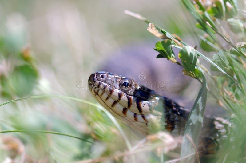 Северная змейка воды стоковое изображение rf