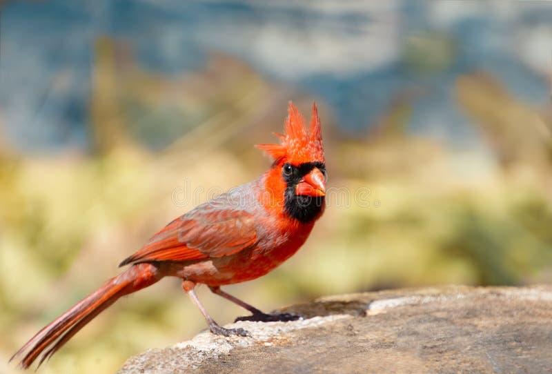 Северная мужская красная кардинальная птица с заостренной кроной стоковые изображения rf