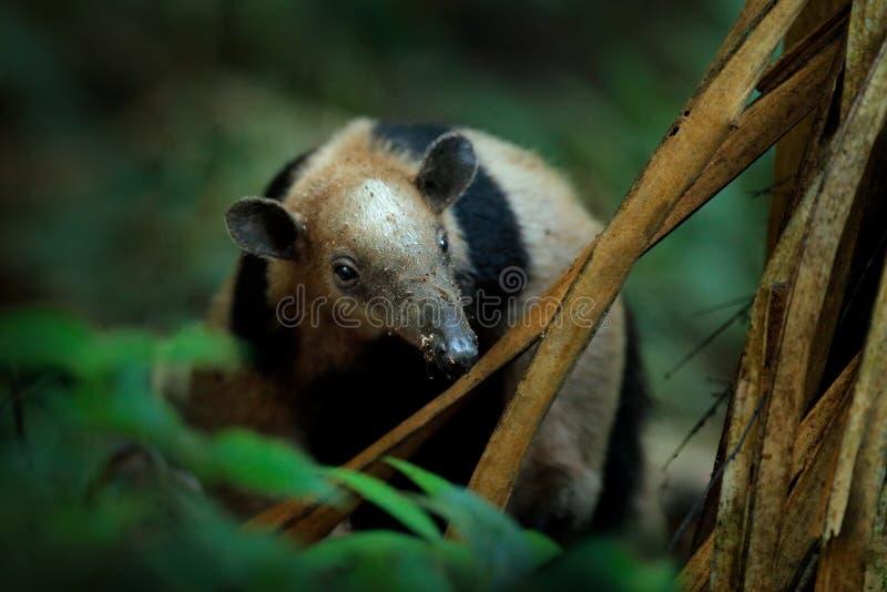 Северное tamandua, mexicana Tamandua, дикий муравьед в среду обитания леса природы, Corcovado NP, Коста-Рика Сцена живой природы  стоковые фото