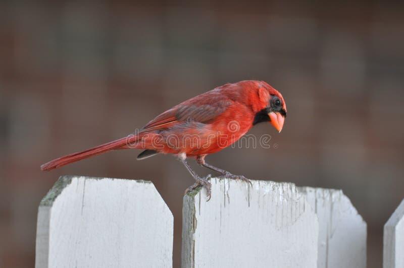 Северные кардинал или redbird или общее кардинальное inohio стоковая фотография rf