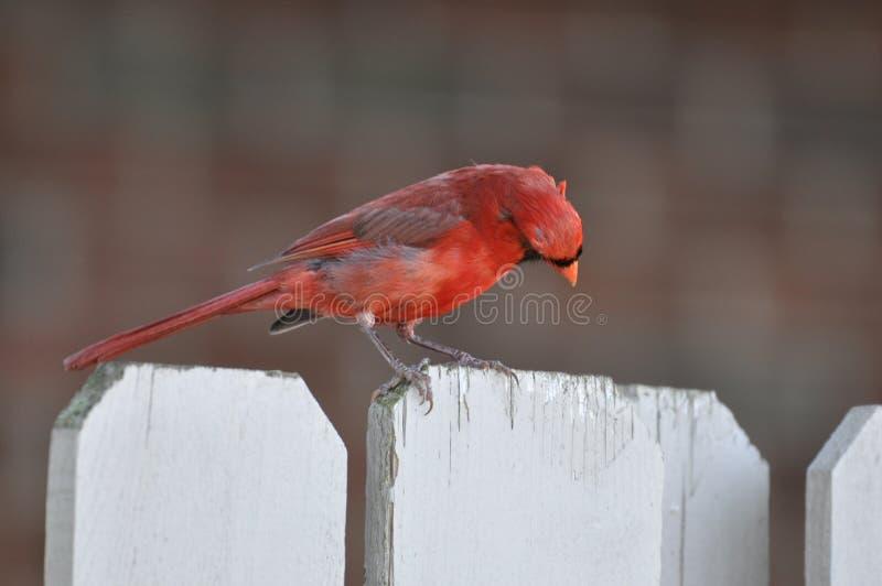 Северные кардинал или redbird или общее кардинальное inohio стоковое фото