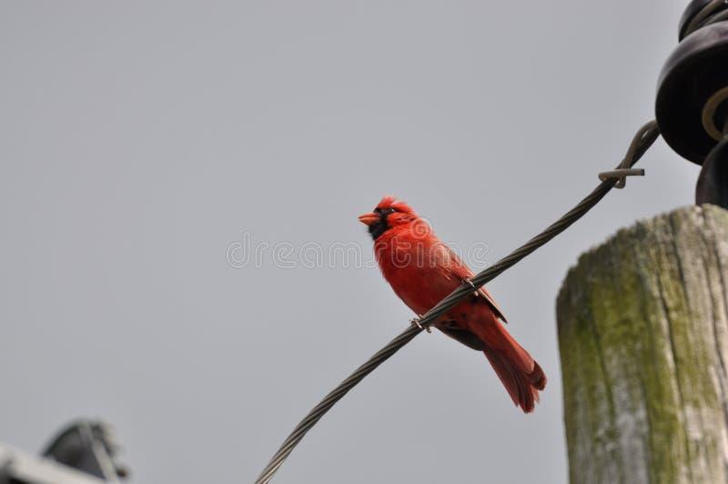 Северные кардинал или redbird или общий кардинал в Огайо стоковое изображение
