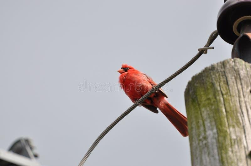 Северные кардинал или redbird или общий кардинал в Огайо стоковое изображение rf