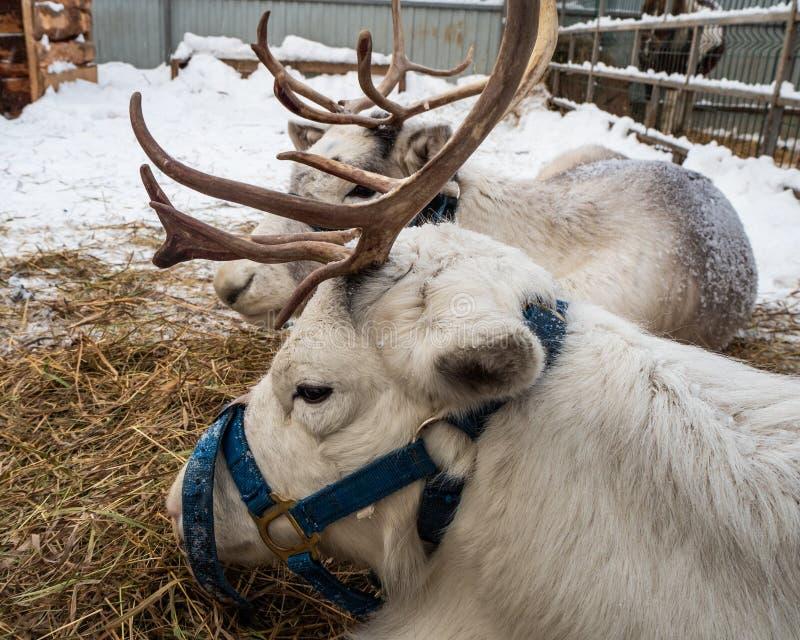 Северные олени ждут команду для того чтобы снести Санта Клауса в Новосибирске, России стоковое изображение