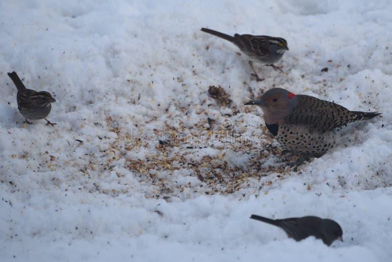 Северные Woodpecker и друзья фликера стоковые фотографии rf