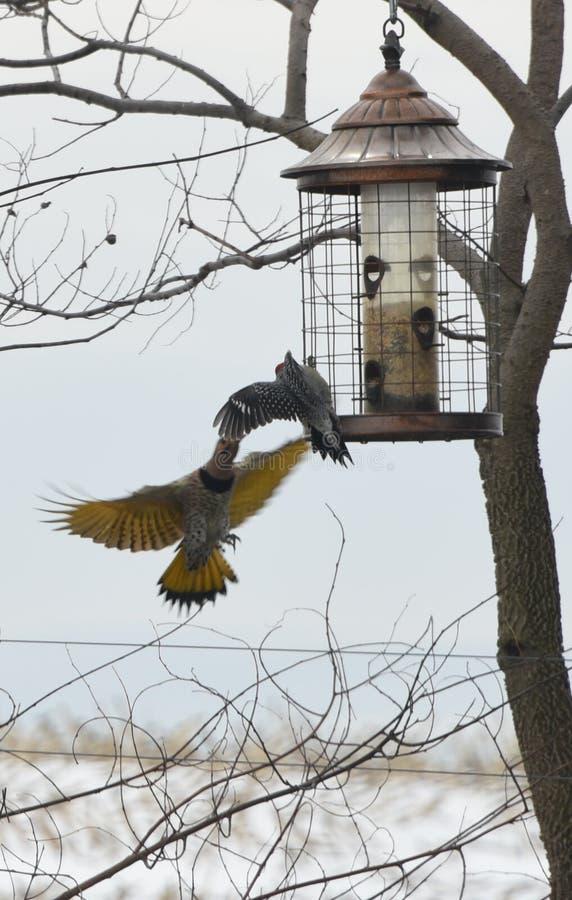 Северные Woodpeckers фликера стоковое изображение