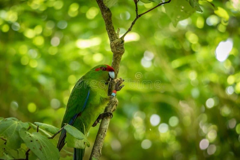Северный длиннохвостый попугай Kakariki острова на ветви леса стоковая фотография rf