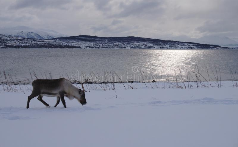 Северный олень идя в снег для еды с горами и морем стоковые изображения