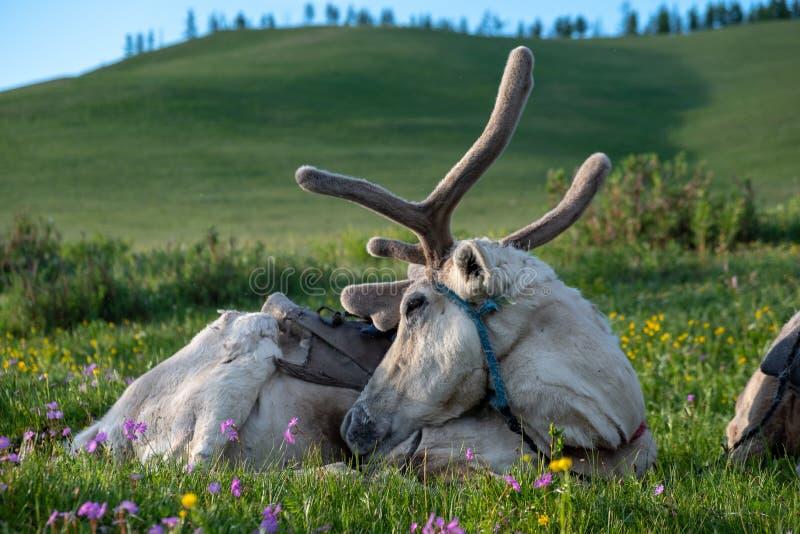 Северный олень принадлежа к пастухам Tsaatan северной Монголии стоковое фото