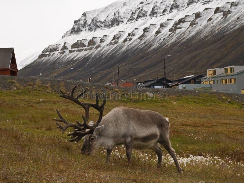 северный олень svalbard стоковые изображения rf