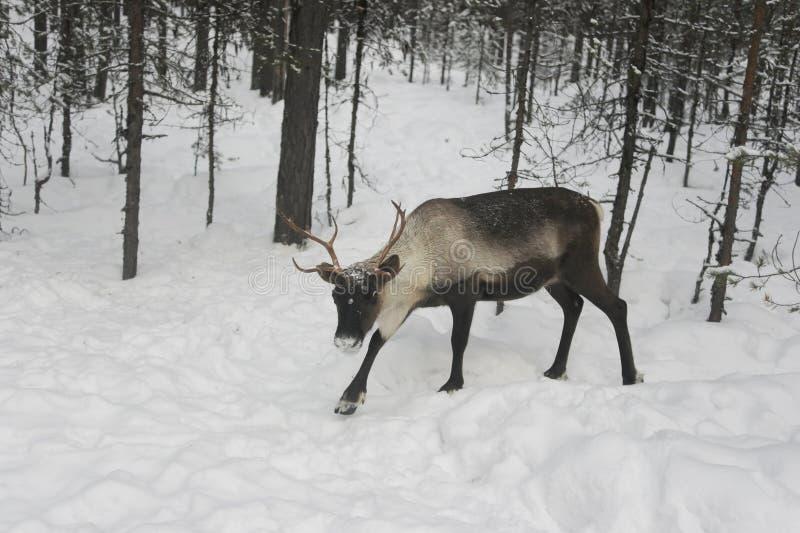 Северный олень в лесе России стоковое изображение rf