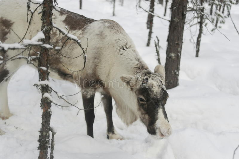 Северный олень в лесе России стоковые изображения
