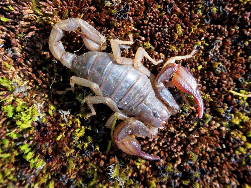 Северный скорпион - boreus Vejovis стоковое фото