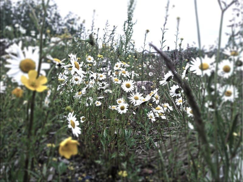 Северный цветок стоковое фото rf