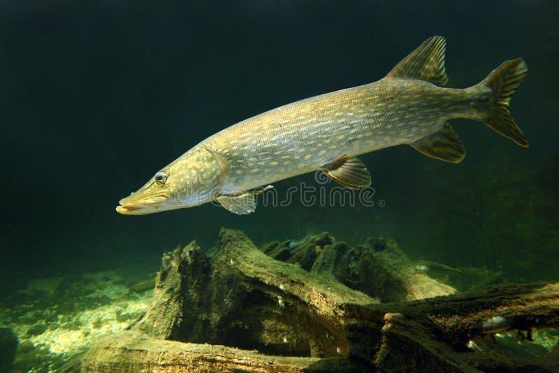Северный Pike (Esox Lucius). стоковое изображение