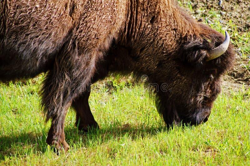 Североамериканский деревянный бизон стоковое изображение rf