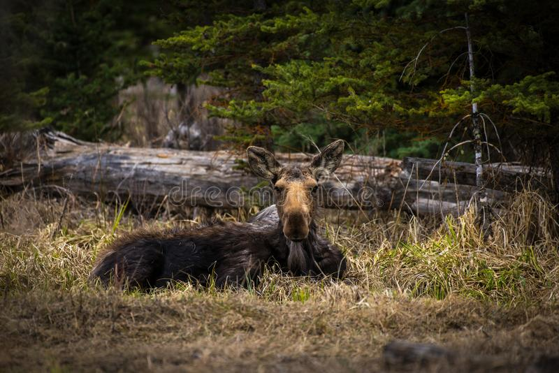 Североамериканский отдыхать лосей коровы стоковая фотография