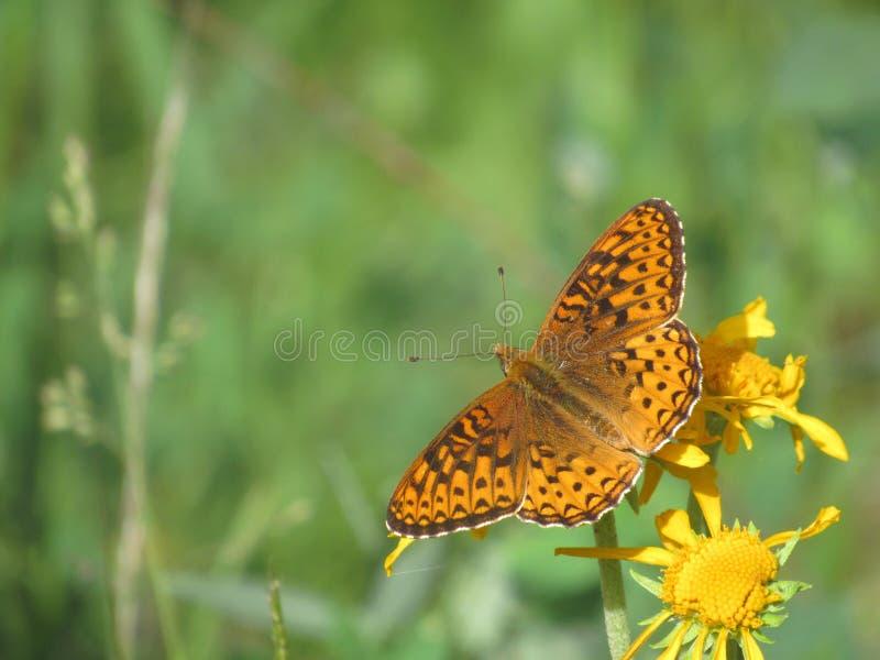 Северо-западная бабочка стоковое фото rf