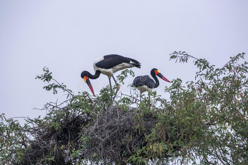 Седловина представила счет аист в национальном парке Kruger, Южной Африке стоковые изображения
