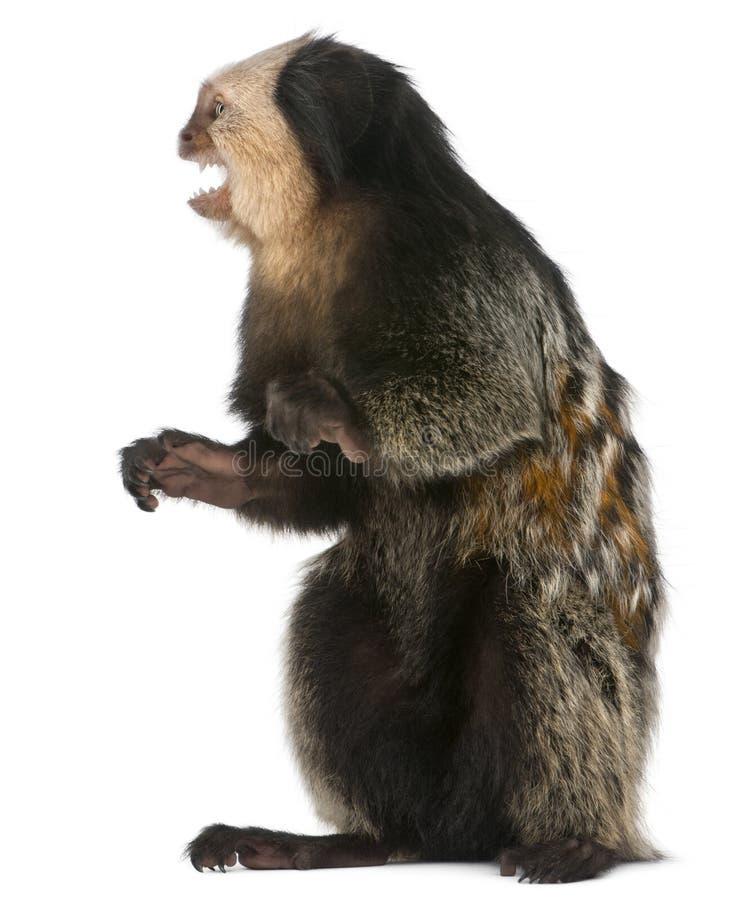 Седоволасая мартышка с ртом открытым, geoffroyi Callithrix стоковые фотографии rf