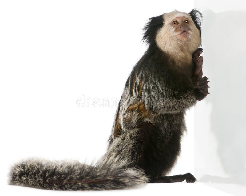 Седоволасая мартышка, geoffroyi Callithrix стоковое изображение rf