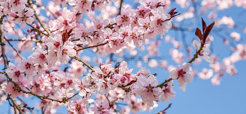 Сезонная весна цветет предпосылка деревьев стоковые фотографии rf