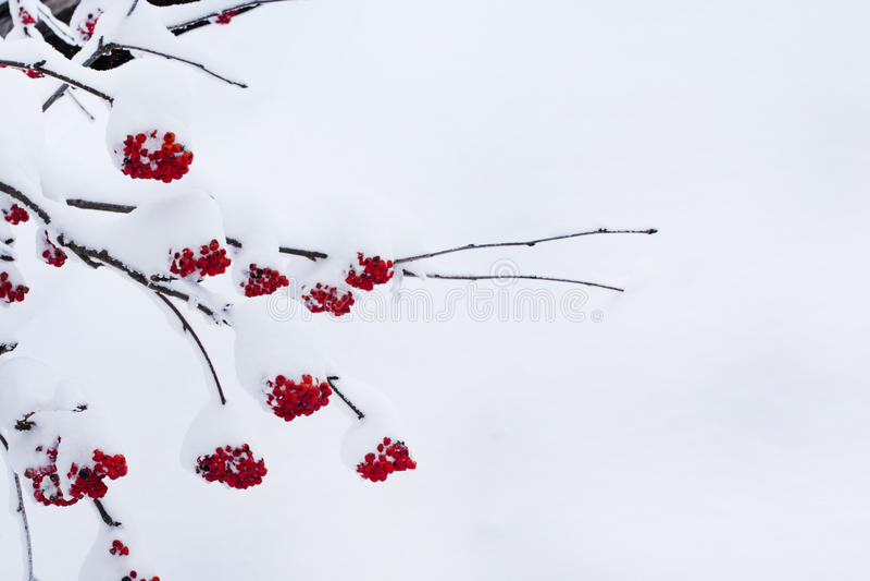 Сезонная предпосылка природы зимы с красной ягодой рябины под снегом стоковые изображения