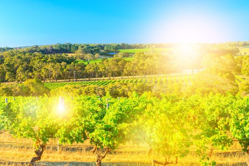 Сезонный ландшафт виноградника стоковые фотографии rf