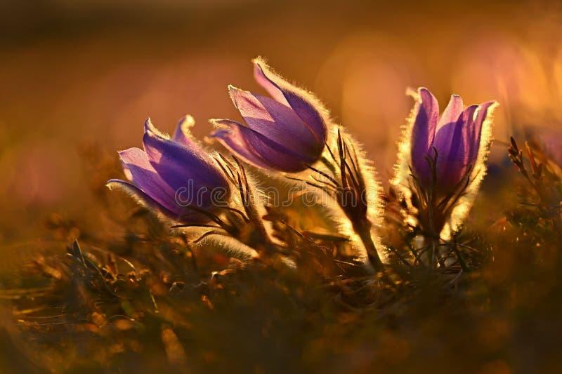 Сезон весеннего времени Красиво цветок pasque цветков весны цвести в заходе солнца с естественной покрашенной предпосылкой стоковое изображение rf