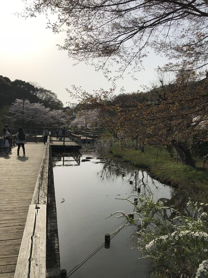 Сезон вишневого цвета, символ японской культуры стоковое изображение rf
