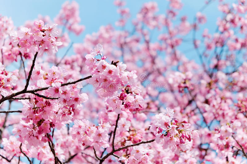 Сезон вишневого цвета стоковое фото