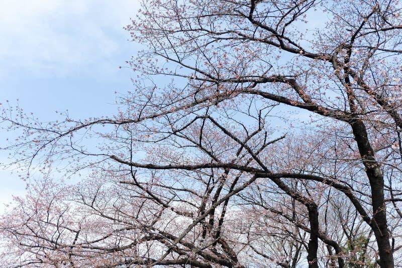 Сезон вишневого цвета стоковая фотография